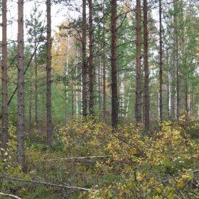 Raivattua metsää